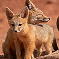 Kit Fox Mother Looking Over Pup Print by Max Allen