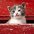 Kitten in red drawer Print by Garry Gay