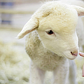 Lamb At Denver Stock Show Poster by Anda Stavri Photography