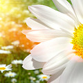 Large daisy in a sunlit field of flowers Poster by Sandra Cunningham