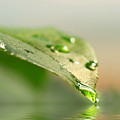 Leaf with water droplets Poster by Sandra Cunningham