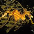 Leafy Seadragon, Off Kangaroo Island Poster by James Forte