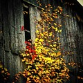 Leaves on an Old Barn Poster by Joyce Kimble Smith