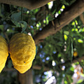 Lemons Hanging From A Lemon Tree Poster by Richard Nowitz