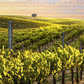 Lighted Vineyard Poster by Sharon Foster