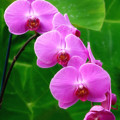 Lilac Orchid Beauties Print by Sue Melvin