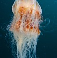 Lions Mane Jellyfish Swimming Print by Paul Nicklen