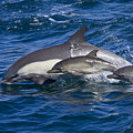 Long-beaked Common Dolphins, Delphinus Print by Ralph Lee Hopkins