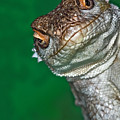 Look Reptile, Lizard Interested By Camera Print by Pere Soler
