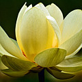 Lotus Blossom Print by Christopher Holmes