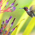Male Anna's Hummingbird Print by Mike Herdering