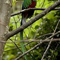 Male resplendent quetzal Poster by ROY TOFT