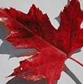Maple Leaf Red 1 Up Close Poster by Nancy Teague
