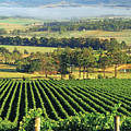 Misty Morning In Yarra Valley Vineyards Near Healesville, Victoria, Australia Poster by Peter Walton Photography