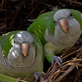 MONK PARAKEET PAIR Poster by Larry Linton