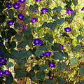 Morning Glories Print by Margie Hurwich