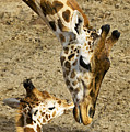 Mother giraffe with her baby Print by Garry Gay