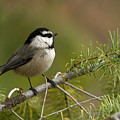 Mountain Chickadee Print by Reflective Moment Photography And Digital Art Images
