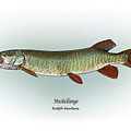 Muskellunge Print by Ralph Martens