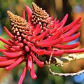Naked Coral Tree Flower Poster by Mariola Bitner