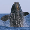 North Atlantic Right Whale breaching Print by Tony Beck