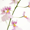 Oncidium Orchid Flowers Poster by Julia Hiebaum