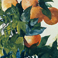 Oranges on a Branch Print by Winslow Homer