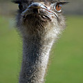 Ostrich What a Face Poster by Laura Mountainspring