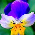 Pansy Print by Kathleen Struckle