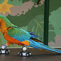 Parrot on skates Print by Ruth Hallam