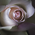 Pastel Flower Rose Closeup Image Print by Artecco Fine Art Photography