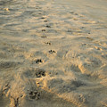 Paw Prints In The Sand Poster by Roberto Westbrook