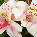 Peruvian Lilies  Flowers White and Pink Color Print Poster by James BO  Insogna