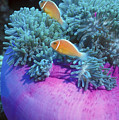 Pink Anemonefish Protect Their Purple Print by Michael Wood