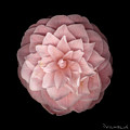 Pink Camellia Print by Richard Wilhelm