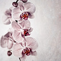 Pink orchid vintage Print by Jane Rix