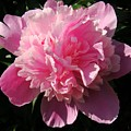 Pink Peony Poster by Sandy Keeton