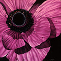 Pink Poppy Poster by Linda Hoard