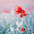 Poppy Field In Flower With Morning Dew Drops Poster by Sophie Goldsworthy