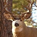 Portrait of a 15-point Buck Print by Max Allen