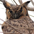 Portrait of a Great Horned Owl Print by Wingsdomain Art and Photography