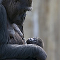 Portrait Of Gorilla Mother Looking Print by Karine Aigner