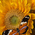Pretty butterfly on sunflowers Poster by Garry Gay