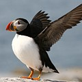 Puffin impersonating an Eagle Print by Stanley Klein