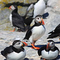 Puffins at Rest Poster by John Burk