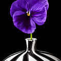 Purple Pansy Print by Garry Gay