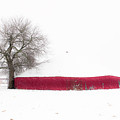 Red Barn in Winter Print by Tamyra Ayles