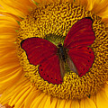 Red Butterfly On Sunflower Poster by Garry Gay