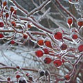 Red Ice Berries Print by Kristine Nora