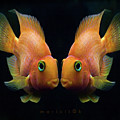 Red Parrot Fish Print by MariClick Photography